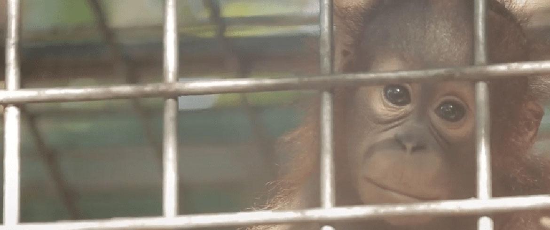 orangutan-pulang